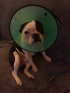 Cash in his cone of shame.
